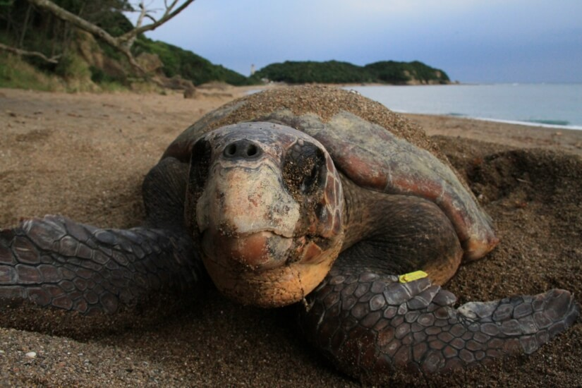 日本ウミガメ協議会